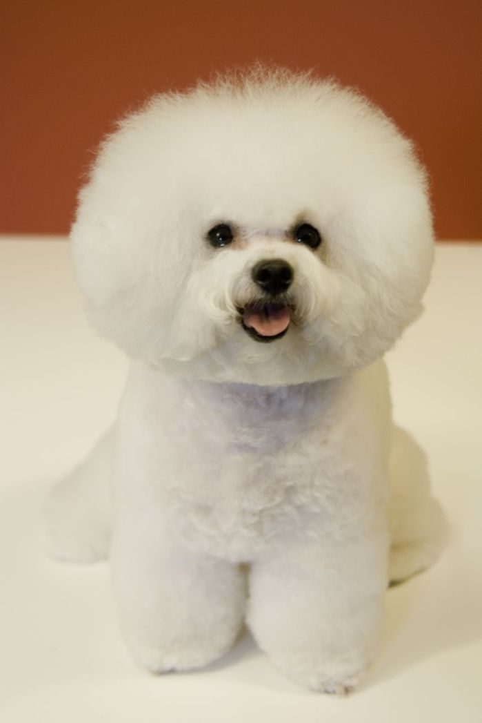 Bichon_Frise_red_background